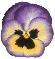 Виола крупноцветковая Премьер Блюберри трилл [1000 шт] - Семена Тут