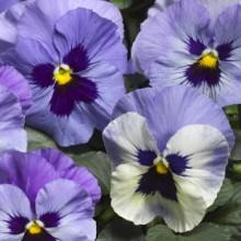 Виола крупноцветковая Дельта Марина [100 шт] - Семена Тут