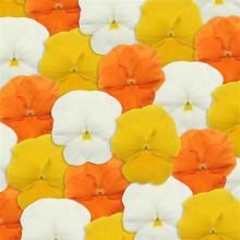 Виола крупноцветковая Панола XP Цитрус Микс [50шт] - Семена Тут