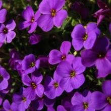 Аубреция Фиолетовая - Семена Тут