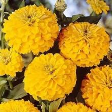Цинния Лиллипут Желтая - Семена Тут