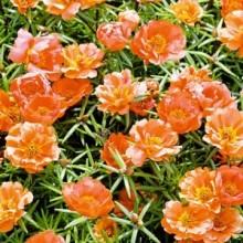 Портулак крупноцветковый Солнечная страна оранжевый - Семена Тут