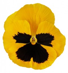 Виола крупноцветковая Премьер Голд виз блоч [1000 шт] - Семена Тут