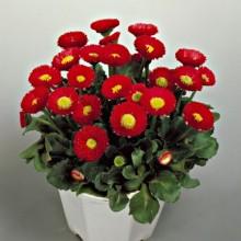 Маргаритка Галакси Ред [1000 драже] - Семена Тут