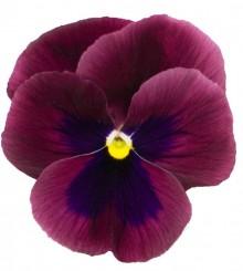 Виола крупноцветковая Премьер Кармин роуз виз блоч [1000 шт] - Семена Тут