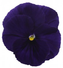 Виола крупноцветковая Премьер Клиа пурпл [1000 шт] - Семена Тут