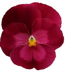 Виола крупноцветковая Премьер Клиа роуз [1000 шт] - Семена Тут