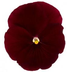 Виола крупноцветковая Премьер Клиа скарлет [1000 шт] - Семена Тут
