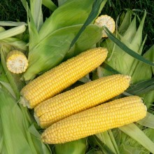 Кукуруза ГСС 3071 F1 - Семена Тут