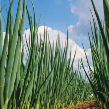 Лук на зелень Фактор - Семена Тут