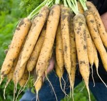 Морковь Мелло Йелло F1 - Семена Тут