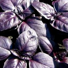 Базилик Ред Рубин фиолетовый - Семена Тут