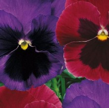 Анютины глазки Самоцветы - Семена Тут