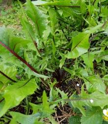 Цикорий листовой красный - Семена Тут