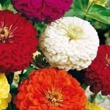 Цинния геоогиноцветковая Смесь окрасок - Семена Тут