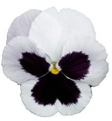 Виола крупноцветковая Премьер Вайт виз блоч [1000 шт] - Семена Тут