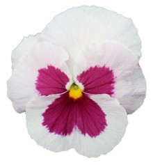 Виола крупноцветковая Премьер Вайт виз Роуз блоч [1000 шт] - Семена Тут
