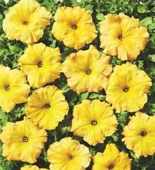 Петуния ампельная Лавина Желтый каприз [1000 драже] - Семена Тут
