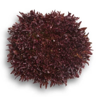 Салат Триплекс - Семена Тут